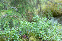 Blueberry bushes. Stock Images