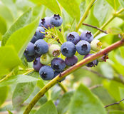 Blueberry close-up Royalty Free Stock Photo