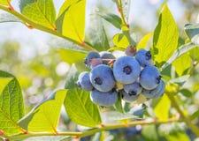 Blueberry Close-up Stock Photos