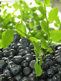 Blueberry, closeup Stock Image