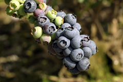 Blueberry cluster on branch Stock Photo