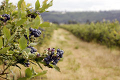 Blueberry cluster, field in background. Big cluster of blueberries on a farm.  Located in Cornelius, Oregon Royalty Free Stock Photography