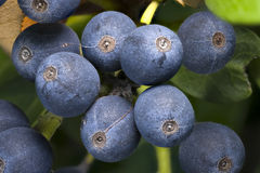 Blueberry Cluster Macro Royalty Free Stock Photos