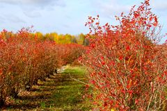 This is Blueberry Country. My neighborhood raises Blueberries for miles around, and in the fall, this southeast Michigan land looks like the 'red sea.'  This Royalty Free Stock Photography