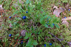 Blueberry drug on a branch in the forest. Royalty Free Stock Photo