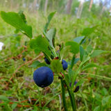Blueberry drug on a branch. Royalty Free Stock Images