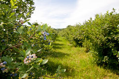 Blueberry Farm Royalty Free Stock Photos