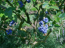 Blueberry farm with berries ripe for picking. Juicy blueberries on healthy bushes in Oregon Royalty Free Stock Photos