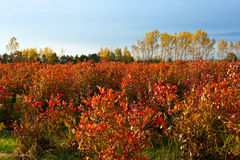 Blueberry farm field in autumn. Setting sun lights up the fiery autumn colors of a cultivated blueberry field on a farm in western Michigan Stock Photography