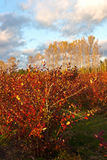 Blueberry farm field in autumn Royalty Free Stock Image