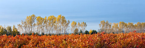 Free Blueberry Farm Field In Autumn Royalty Free Stock Photo - 37626025