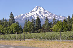 Blueberry farms in Hood river valley Oregon. Blueberry farming and Mt. Hood in Hood River valley Oregon Royalty Free Stock Photography