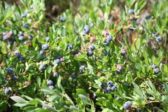 Blueberry field Royalty Free Stock Photography
