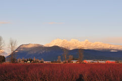 Blueberry Field And Golden Ears Mountain Royalty Free Stock Image