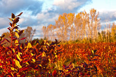 Blueberry field in autumn. Setting sun lights up the fiery autumn colors of a cultivated blueberry field on a farm in western Michigan Stock Photos