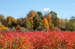 Blueberry field in the fall Stock Photography