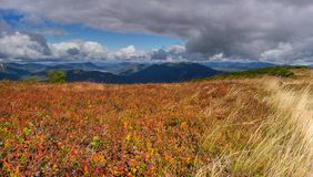 Blueberry field. Mountain slopes in autumn in Ukrainian Carpathians Royalty Free Stock Images