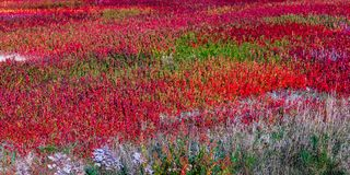 Blueberry field in New Brunswick, Canada. In ghe end of summer stock photos