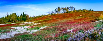 Blueberry field in New Brunswick, Canada. In ghe end of summer royalty free stock photography