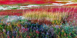 Blueberry field in New Brunswick, Canada. In ghe end of summer stock image