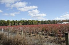 Blueberry Field. A blueberry field in New Jersey in autumn when the leaves of the plants turn red Royalty Free Stock Photo
