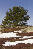 Blueberry field with snow rocks and scrub tree Royalty Free Stock Images