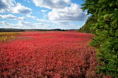 Blueberry Fields. In the fall in New Brunswick Stock Photography