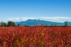 Blueberry fields. Turned bright red on a sunny autumn day Royalty Free Stock Image