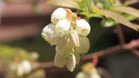 Blueberry flower in Japan stock video footage