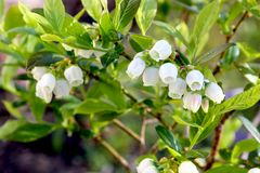 Blueberry flowers on the shrub Royalty Free Stock Photo