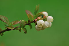 Blueberry flowers in spring stock photography