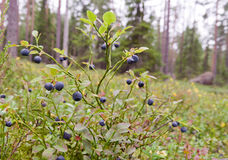 Blueberry forest Stock Photography