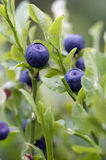Blueberry - forest product Royalty Free Stock Photography