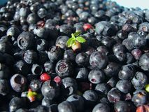 Blueberry. Freshly picked blueberries a healthy healthier...in macro mode Royalty Free Stock Images