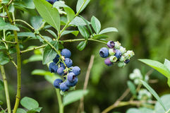 Blueberry fruit on the bush Royalty Free Stock Image