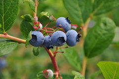 Blueberry fruit closeup on a branch with green leaves. Ripe blueberry fruit on a plant branch with green leaves Royalty Free Stock Image