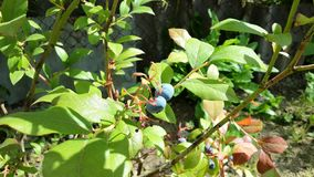 Blueberry. Grow in the garden Royalty Free Stock Photo
