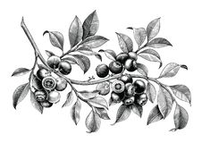 Blueberry hand drawing vintage clip art isolate on white background royalty free illustration