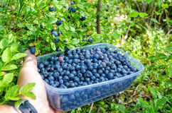 Blueberry harvesting time Stock Photo