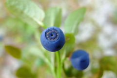 Blueberry improve vision vitamins in natural. Stock Photo