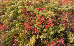 Blueberry and juniper plants in autumn. Blueberry and juniper plants  in autumn Stock Photo