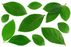 Blueberry  leaf closeup on white Stock Photo
