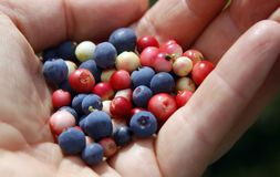 Blueberry and lingonberry Royalty Free Stock Images