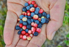 Blueberry and lingonberry Royalty Free Stock Photo