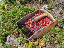Blueberry and lingonberry harvest and bushes Royalty Free Stock Image