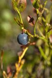 Blueberry. Lonely blueberry left on plant Royalty Free Stock Photo