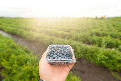 Blueberry and. A man holding a box of blueberries in the farm Stock Photo