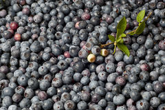 Blueberry Montage 1 Stock Photography