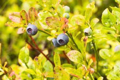 Blueberry one. The photo shows a forest blueberry Stock Photo