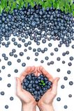 Blueberry pattern and handful of blueberries in the center. Flat lay of blueberries and leaves arranged in a receding pattern and two hands in the middle holding royalty free stock images
